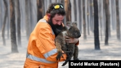 Спасение коал из горящего леса вблизи города Аделаида. Австралия, 7 января 2020 года