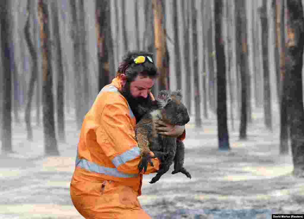 Зоозахисник Саймон Адамчик несе на руках коалу, яка вижила після пожежі на острові Кенгуру