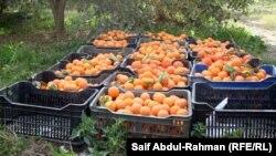 حمضيات من انتاج مزارع الكوت