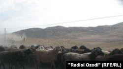 Tajikistan -- a flock of sheep and goats, Khatlon region, 19Jul2012