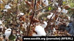 Uzbekistan - cotton harvest in Samarkand region, 19 September 2015