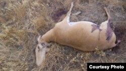 Мертвая сайга с отпиленными рогами. Фото предоставлено пресс-службой прокуратуры Западно-Казахстанской области.