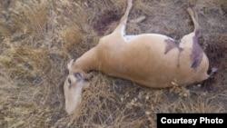 Туша убитого сайгака с отпиленными рогами.