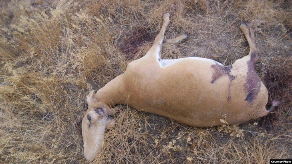 Қазақстанда 72 киікті атып өлтірген браконьерлер іздестіріліп жатыр