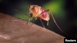 Комар рода Culex