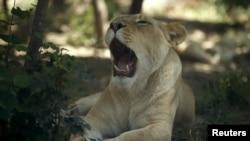 Львица в Тбилисском зоопарке