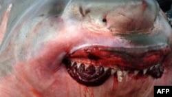 Гигантская белая акула, пойманная у берегов Австралии несколько лет назад