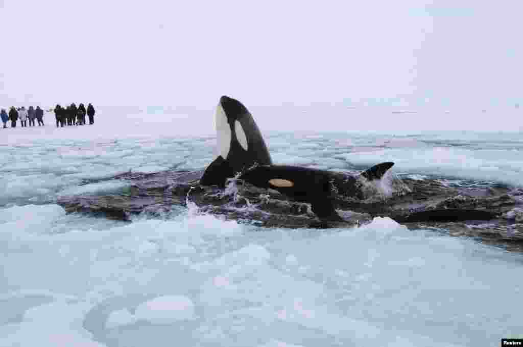 Two killer whales surface through amid the ice of Hudson Bay near the community of Inukjuak, Quebec. The whales are part of a pod of several that are trapped in the sea ice of the Hudson Bay. (Reuters)