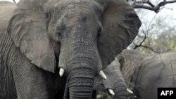 Elefantë...