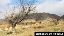 Türkmenistanda bir agaç. Illýustrasiýa suraty