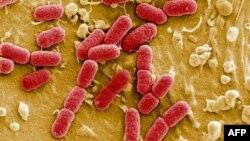 E. coli - bağırsaq çöpü mikroskop altında