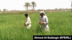 مزارع الرز في الديوانية(من الارشيف)