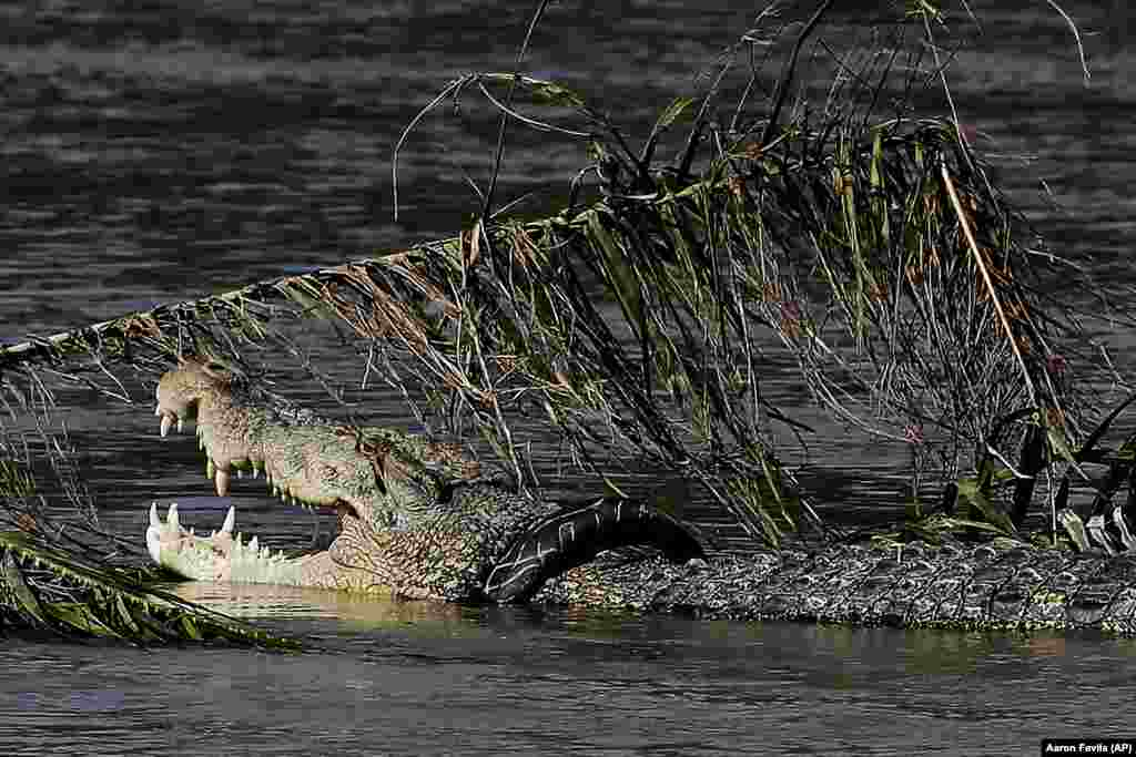 A crocodile, trapped inside a rubber tire, is seen among debris left along a river's edge by a massive earthquake and tsunami that hit Palu, Central Sulawesi, Indonesia. More than 1,400 people are believed to have died, but the toll is expected to rise. (AP/Aaron Favila)