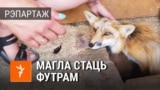 Belarus-tiser for video fox from the helping center for a wild animals
