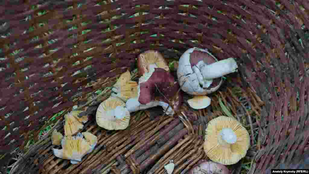 Шампиньон и сыроежки – первые трофеи «тихой охоты». В целом, в Крыму растет около 40 видов съедобных грибов