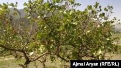 آرشیف، یک درخت پسته