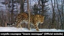 Леопард Валера в приморском нацпарке