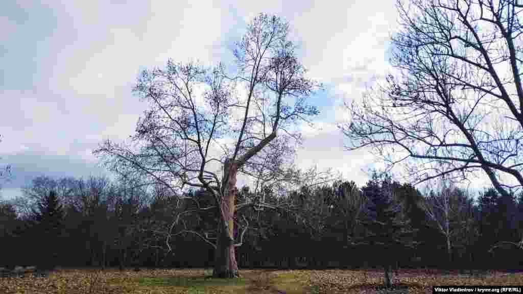 Дерево-велетень