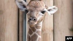 Almaniya zooparkında yeni doğunlan zürafə balası.