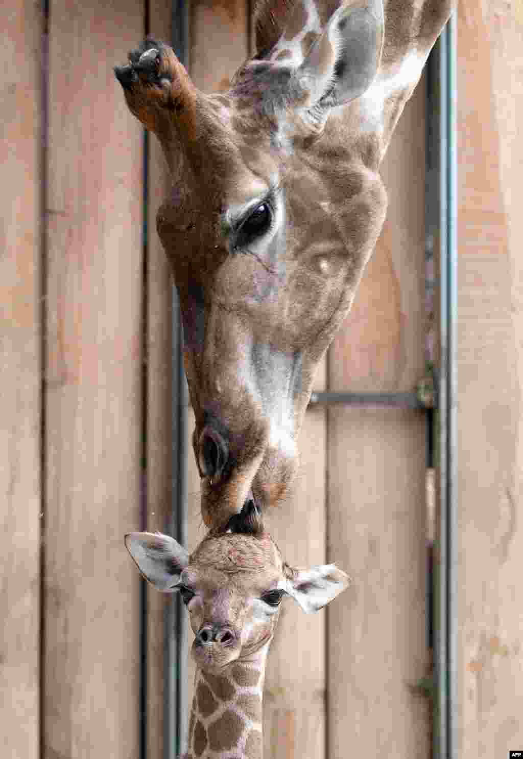 A baby giraffe is nuzzled by its mother, Gambela, at an enclosure at a zoo in Dortmund, Germany. (AFP/Bernd Thissen)