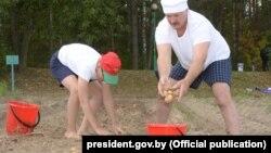 Лукашенко оиласи ва бир гуруҳ ёрдамчилар бир ярим соат ичида 18 гектар майдондан 70 коп картошка териб олган