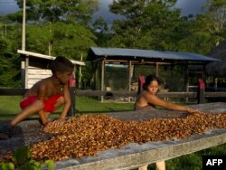 Сортировка и сушка какао-бобов в Колумбии