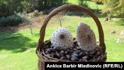 Sakupljanje gljiva i kestenja u Hrvatskoj