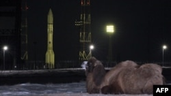 Верблюд рядом с российской ракетой со спутником Turksat-4A на старте космодрома Байконур. 15 февраля 2014 года.