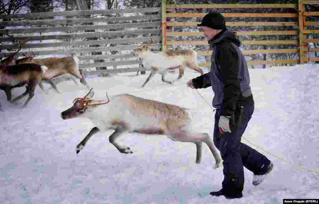 In 2014, there was a huge spike in radiation levels that scientists put down to a bumper season for mushrooms. Hundreds of Norwegian reindeer intended for slaughter had to be released back into the wild.