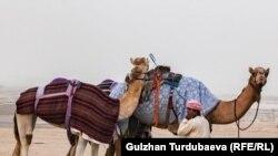 Камили во пустината во Саудиска Арабија