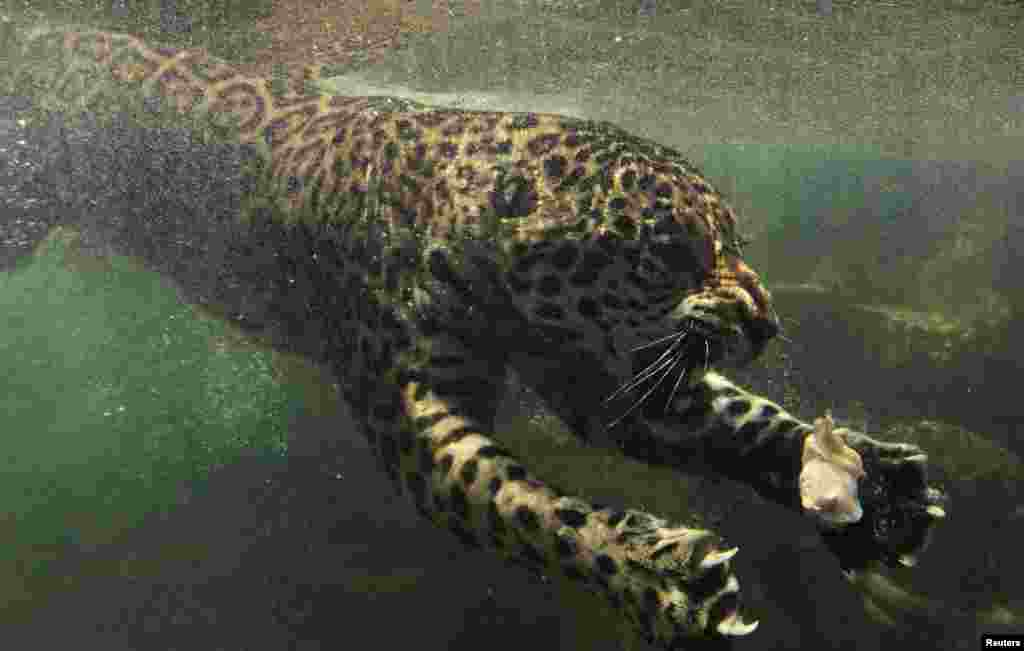 OCTOBER 23, 2012 -- A jaguar swims towards his food during feeding time at a safari park in Bogor, Indonesia. (REUTERS/Beawiharta)