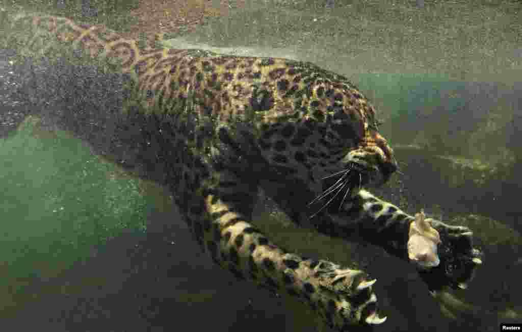 OCTOBER 23, 2012 -- A jaguar swims towards his food during feeding time at a safari park in Bogor, Indonesia. (REUTERS/Beawiharta)