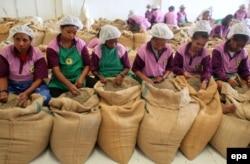 Очистка кофейных зерен в Восточном Тиморе