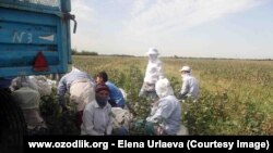 Медики Юкоричирчикского района Ташкентской области собирают хлопок.