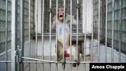 После грузино-абхазской войны питомник находился в ужасном состоянии: от нескольких тысяч осталось около 150 обезьян, cейчас поголовье увеличилось до 600