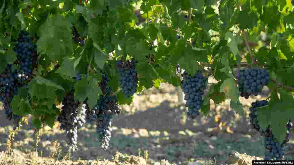 В долине раскинулись виноградники предприятия «Морское» – филиала «Массандры». Похоже, столовые и технические сорта винограда позднего срока созревания дошли до нужной кондиции