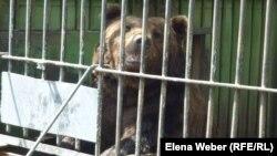 Медведь, содержащийся в зоопарке Караганды. Август 2013 года. Иллюстративное фото.