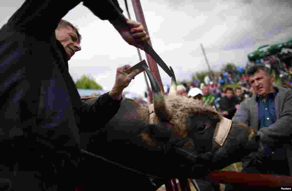 A judge checks a bull's horns to make sure they have not been sharpened.