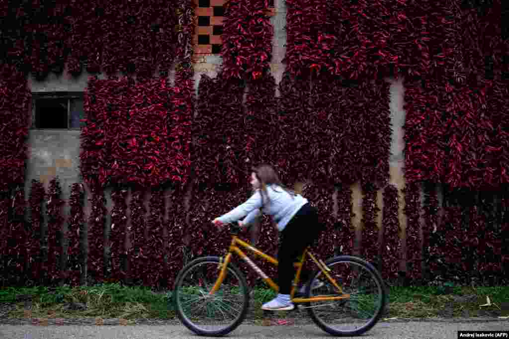A girls rides her bicycle past threads of red paprika in the village of Donja Lokosnica, near the city of Leskovac in southern Serbia. (AFP/Andrej Isakovic)