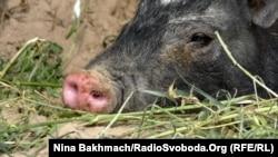 Srbija i Hrvatska su ranije ove godine naredile odstrel divljih svinja zbog bojazni od širenja ove opasne bolesti