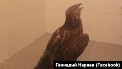 Птица «Курганник», занесенная в Красную книгу Крыма