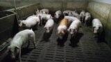 Tajikistan/Russia, a pig factory in Pskov region Russia , 5March2019 (photo provided by tajik migrants)