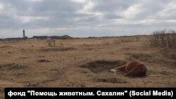 Мертвые лошади в Холмском районе Сахалинской области