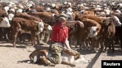 Работник фермы сидит на корове. Село Мамай Акмолинской области. 14 июня 2011 года.