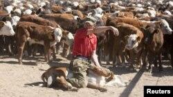 Герефорд тұқымдас сиыр фермасы. Ақмола облысы Мамай ауылы, 14 маусым 2011 жыл. (Көрнекі сурет)