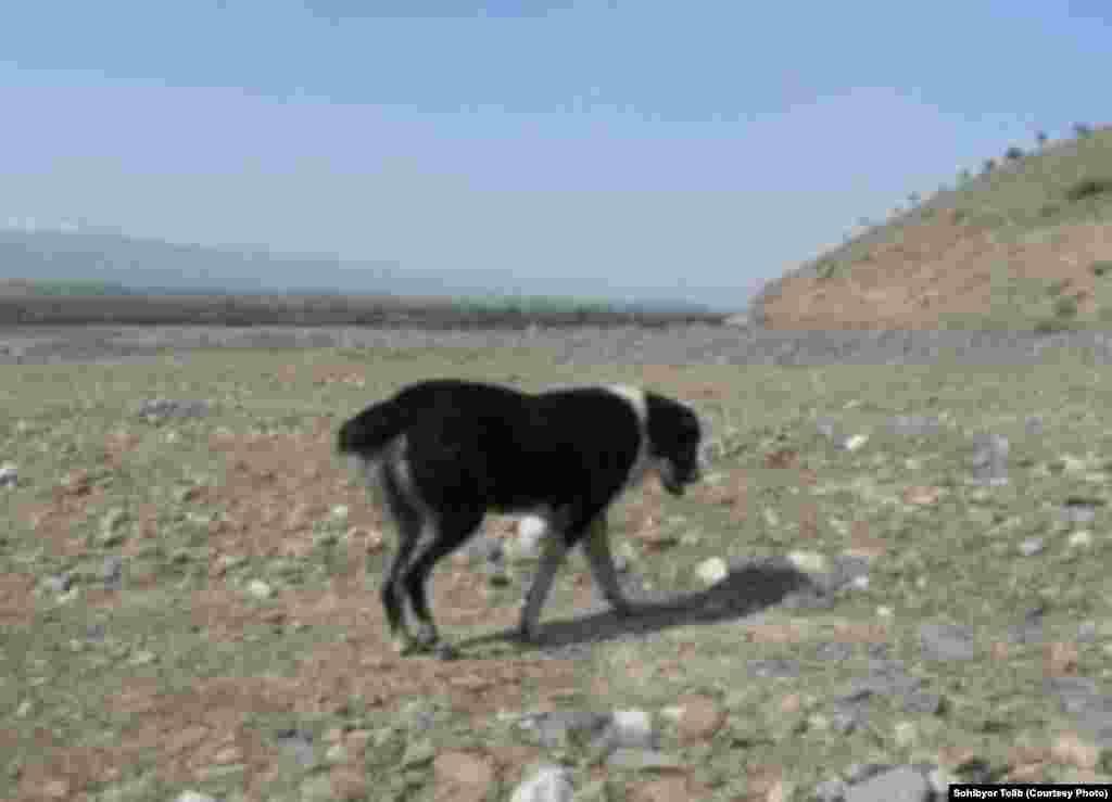 Собака - верный друг чабана