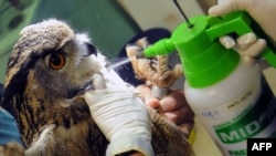 Singapore -- An Eurasian Eagle Owl is sprayed with anti-mite disinfection after receiving a vaccination again the avian flu (H5N2) at the Jurong Bird Park in Singapore, 07May2010