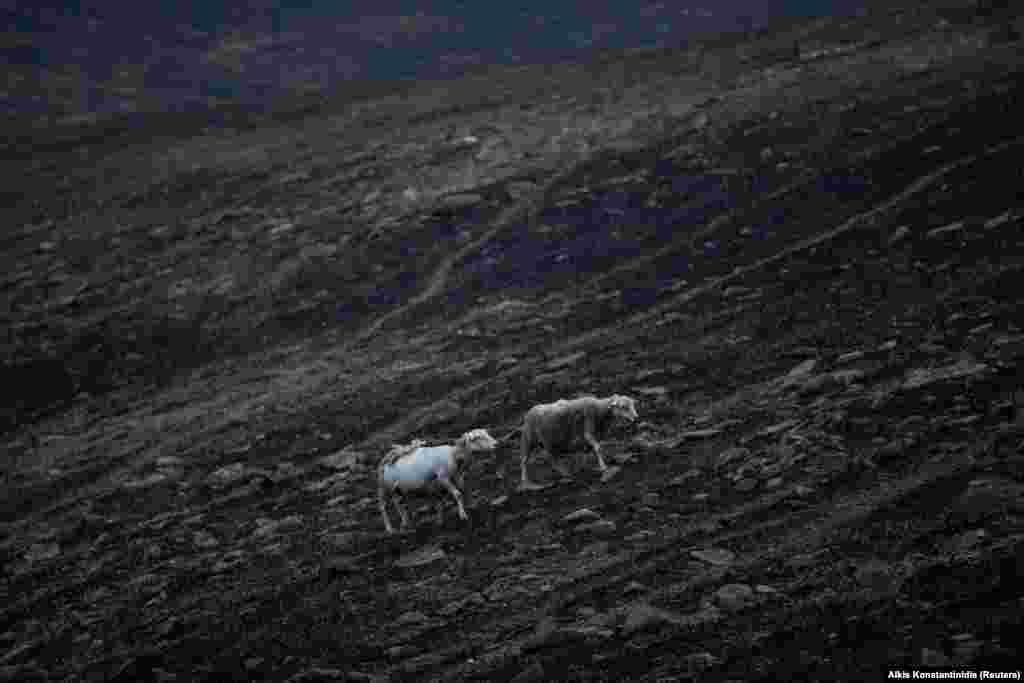 Овцы с обгоревшей шерстью.