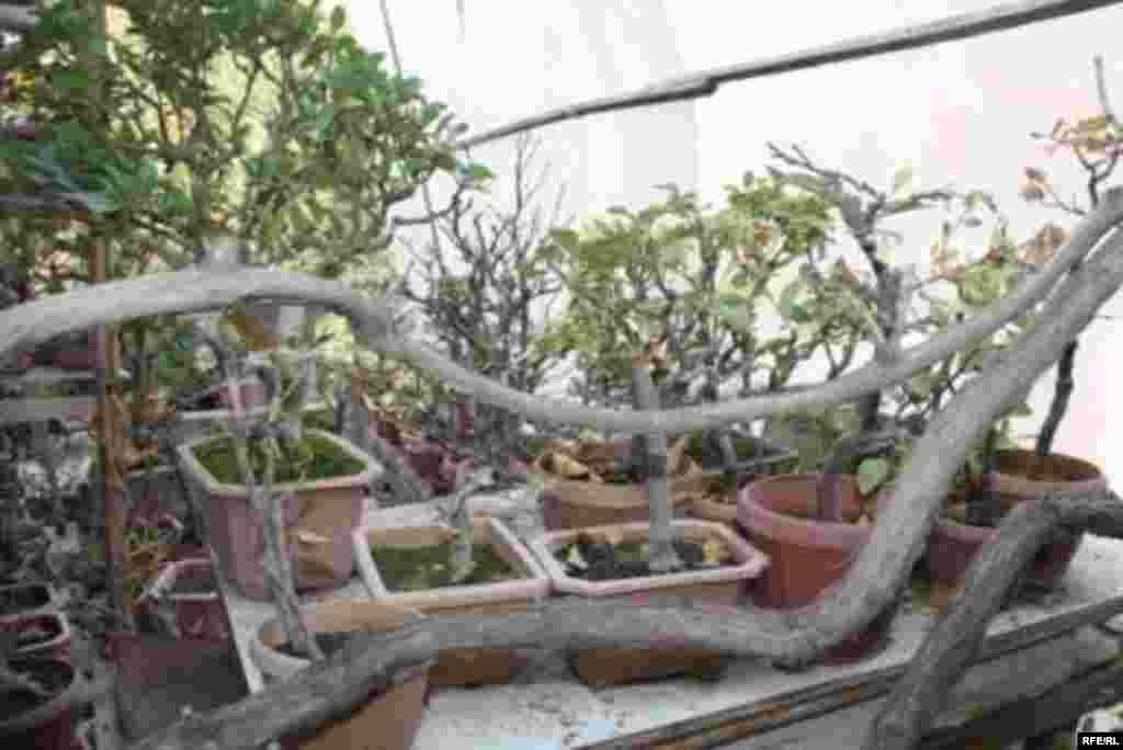 Бонсай в бишкекском дворике #8