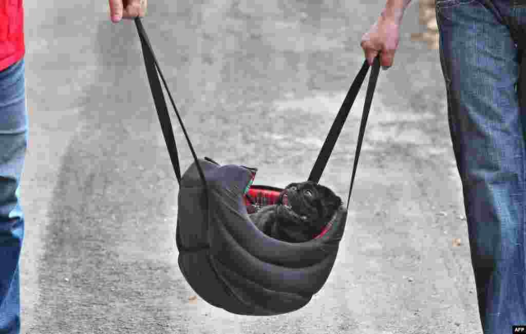 A pug is carried in a bag near Hohenschwangau in southern Germany. (AFP/Karl-Josef Hildenbrand)